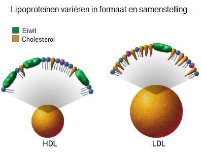HDL (hoge-dichtheid lipoproteïne) vs. LDL (lage-dichtheid lipoproteïne)